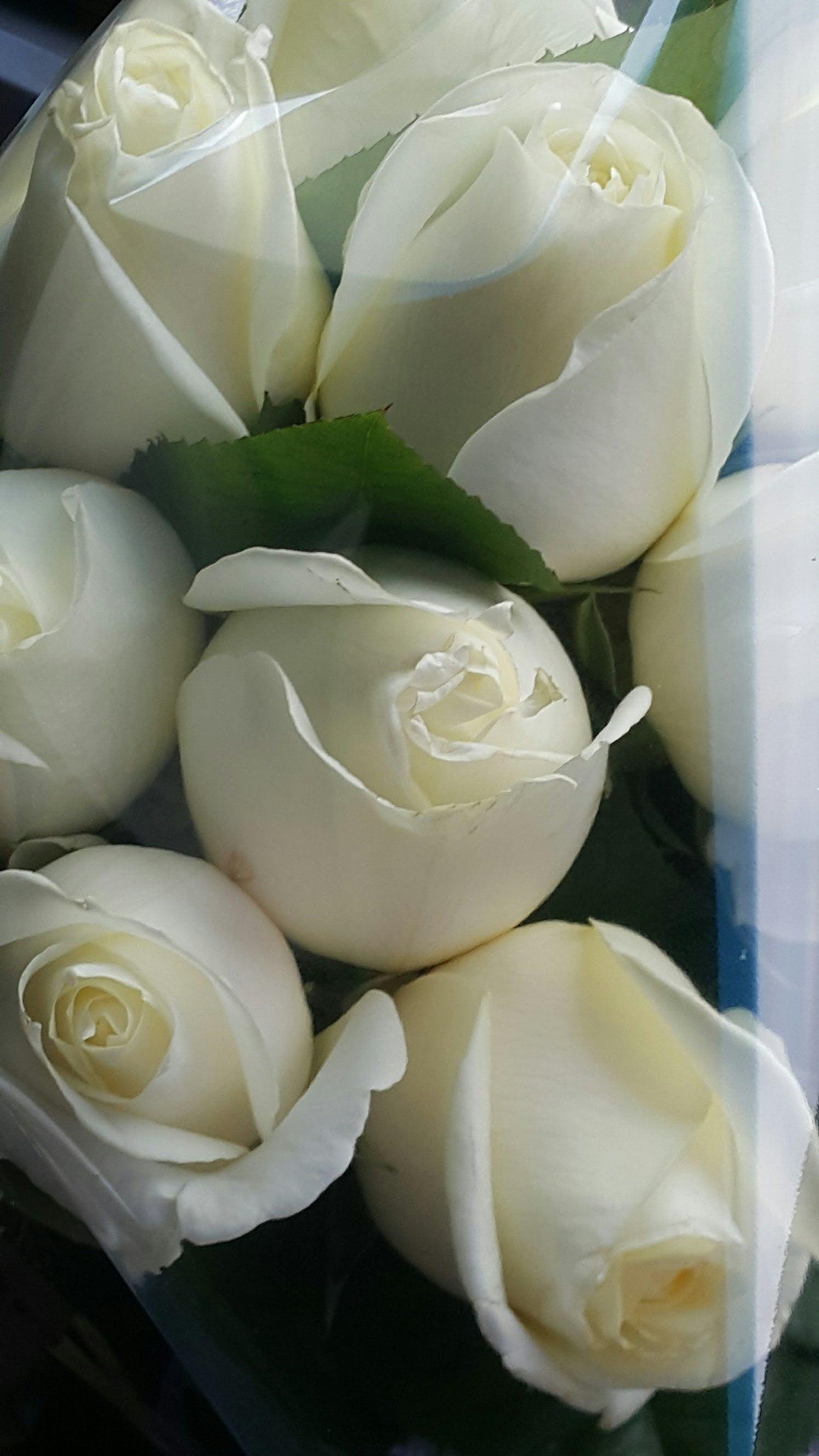 Gratis lagerfoto af hvid rose, rose