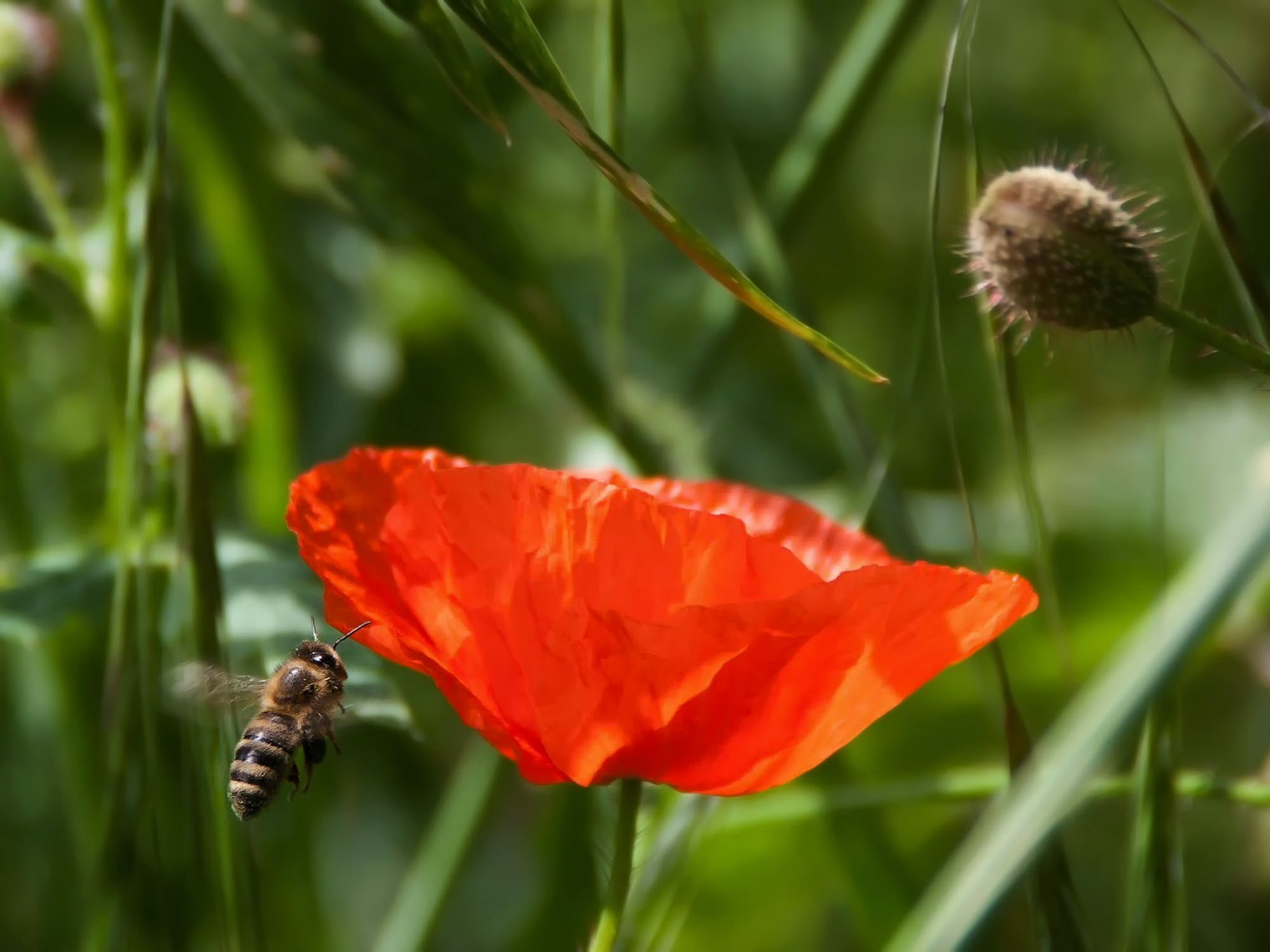 Brown and Black Bee Flying Near Orange Petaled Flower during Daytime