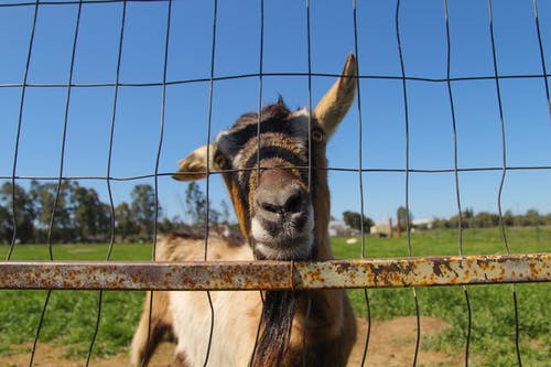 Free stock photo of agriculture, animal, billy goat