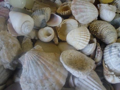 Free stock photo of shells, sea shells