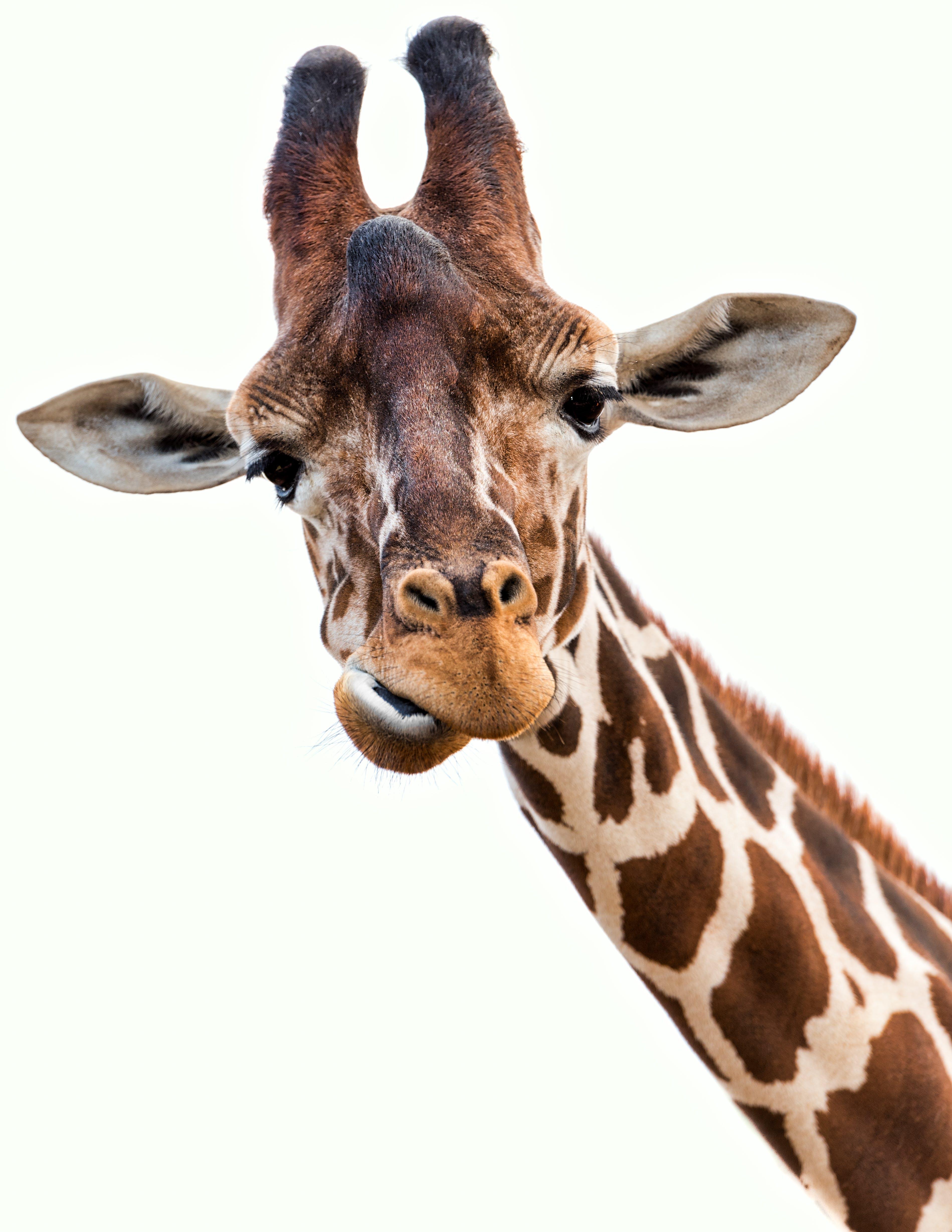 Free stock photo of animal, animal portrait, big eyes, daylight