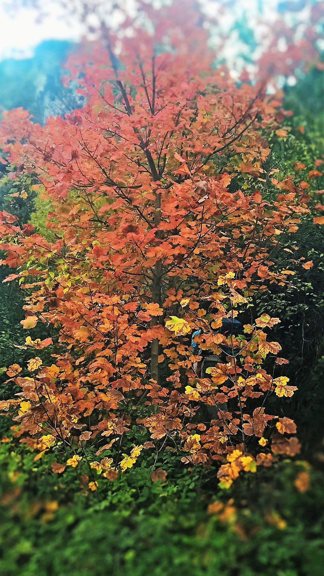 Free stock photo of autumn leaf