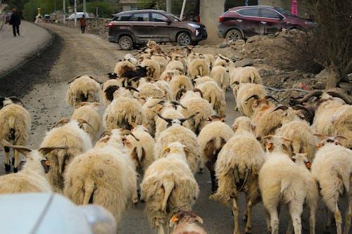 Free stock photo of aba, animals, china