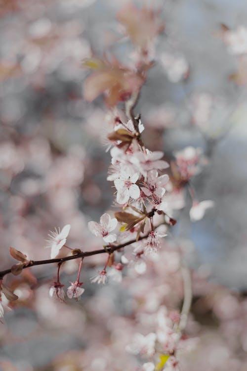 Darmowe zdjęcie z galerii z brzoskwinia, drzewo, flora