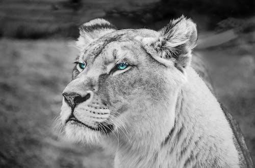 Photos gratuites de animal, animal sauvage, arrière-plan flou, carnivore