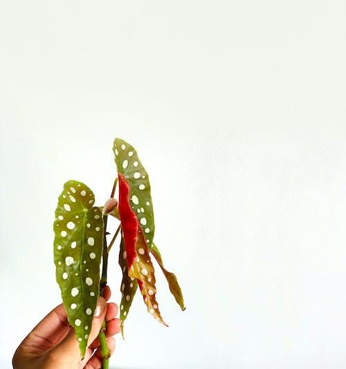 Free stock photo of aesthetic, begonia maculata, botanical
