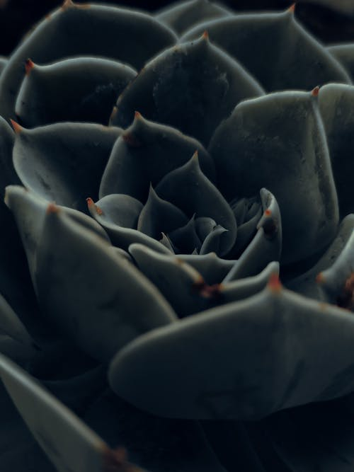 Echeveria flower with green leaves