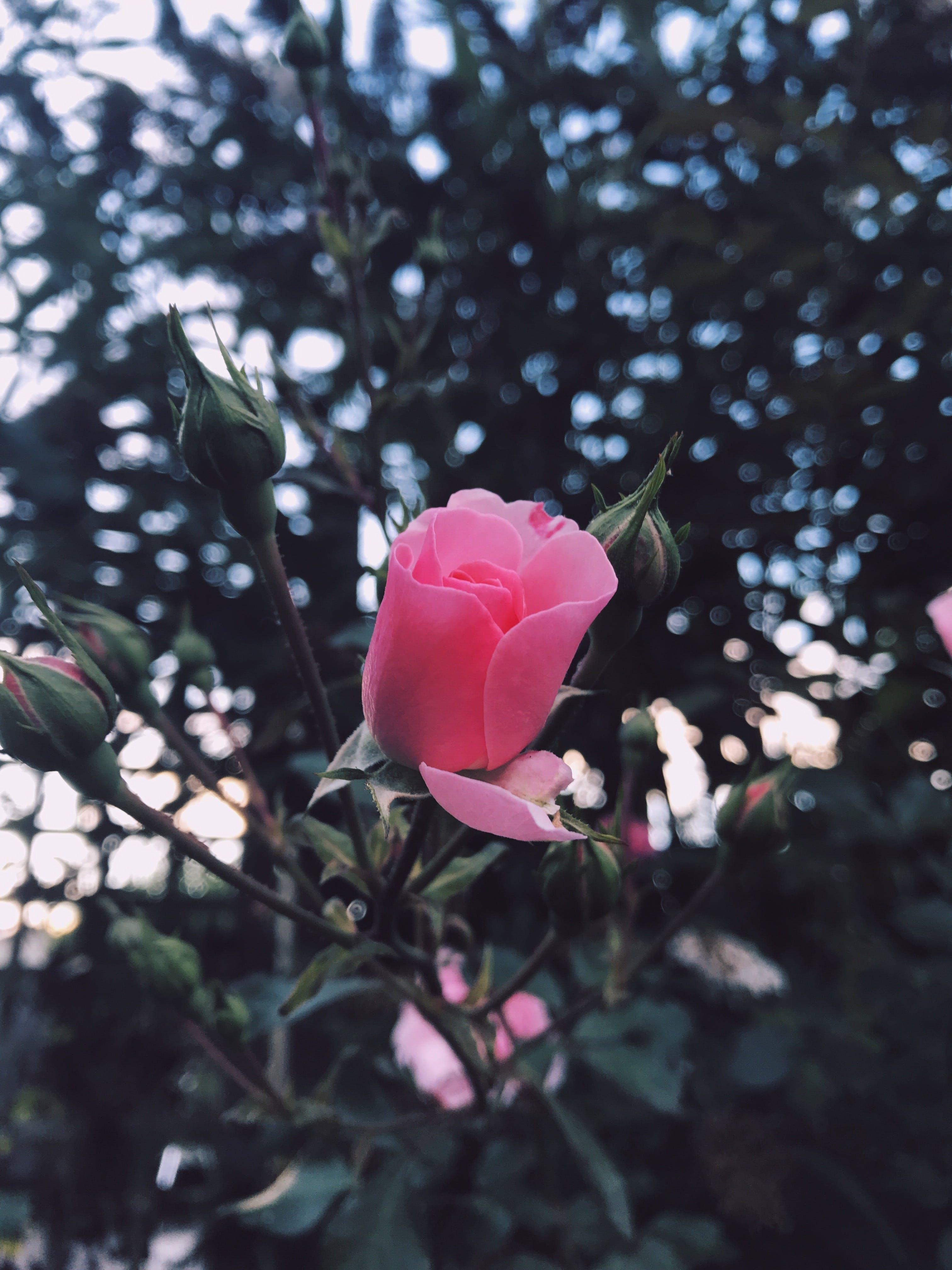Gratis lagerfoto af blomsterhave, have, Kærlighed, lyserød rose