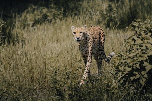 Cheetah Walking on Green Grass Field