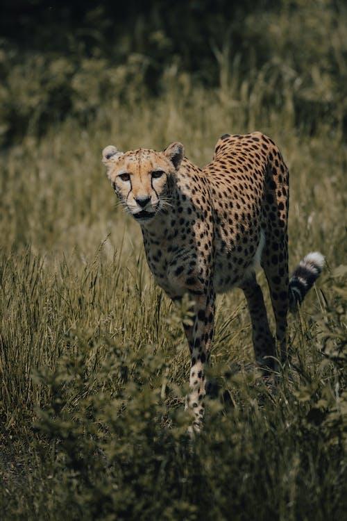 Cheetah on Green Grass Field