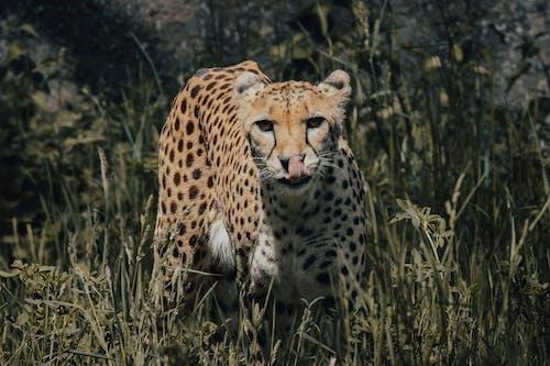Cheetah on Green Grass