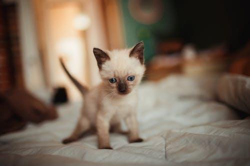 Siamese Kitten on White Textile