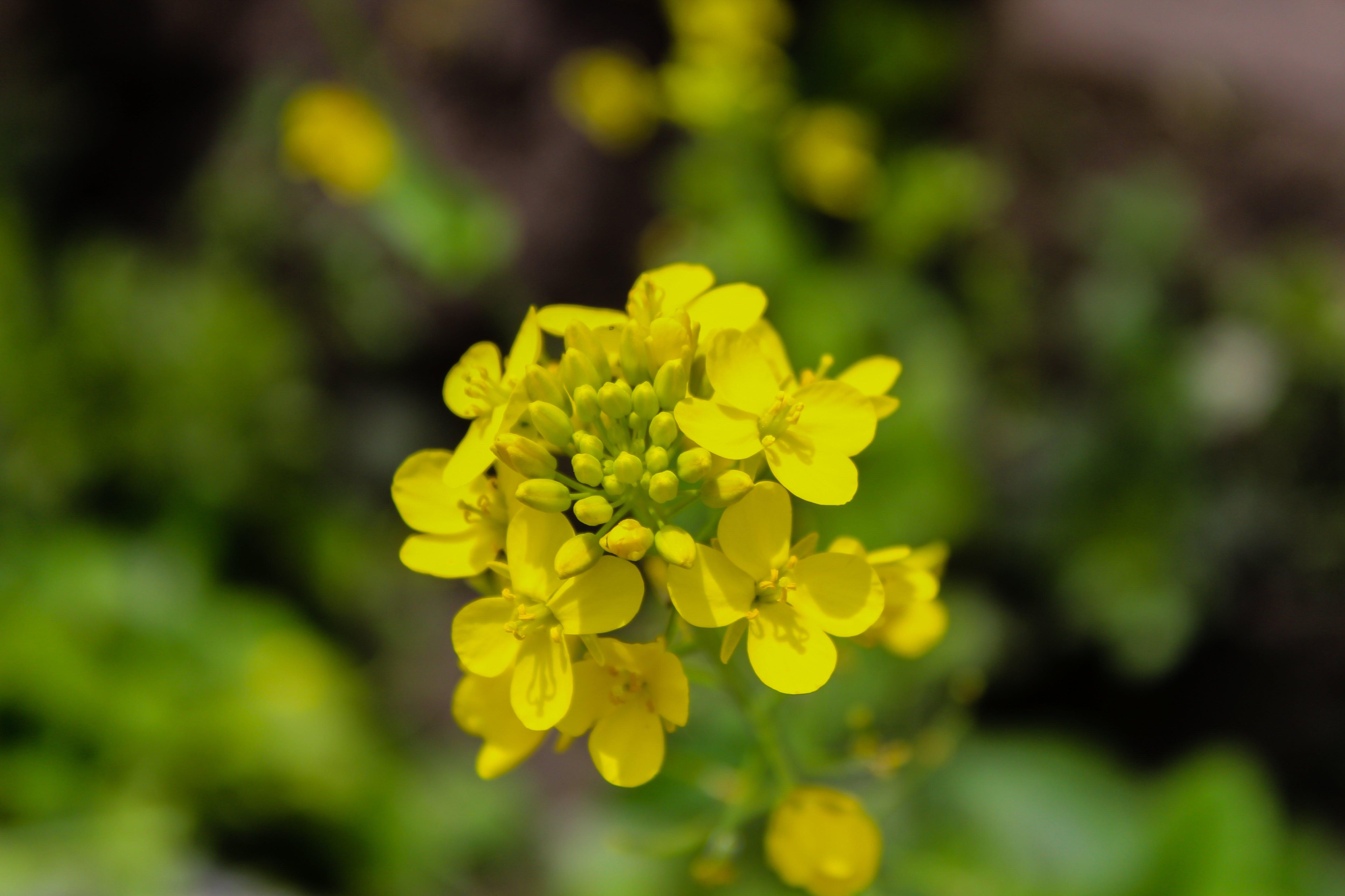 Free stock photo of flower, fresh flowers, yellow flower, yellow flowers