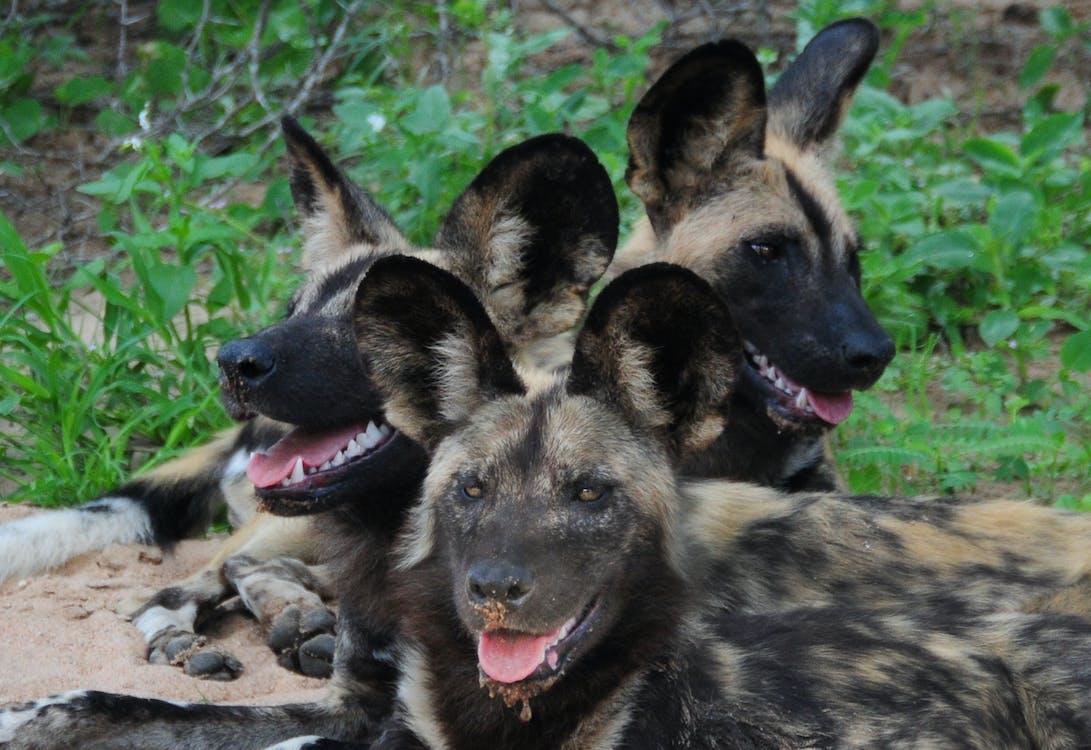 african wild dog, endangered species, wild animals