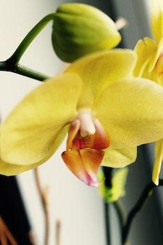 Free stock photo of yellow, flower, makro, falenopsis