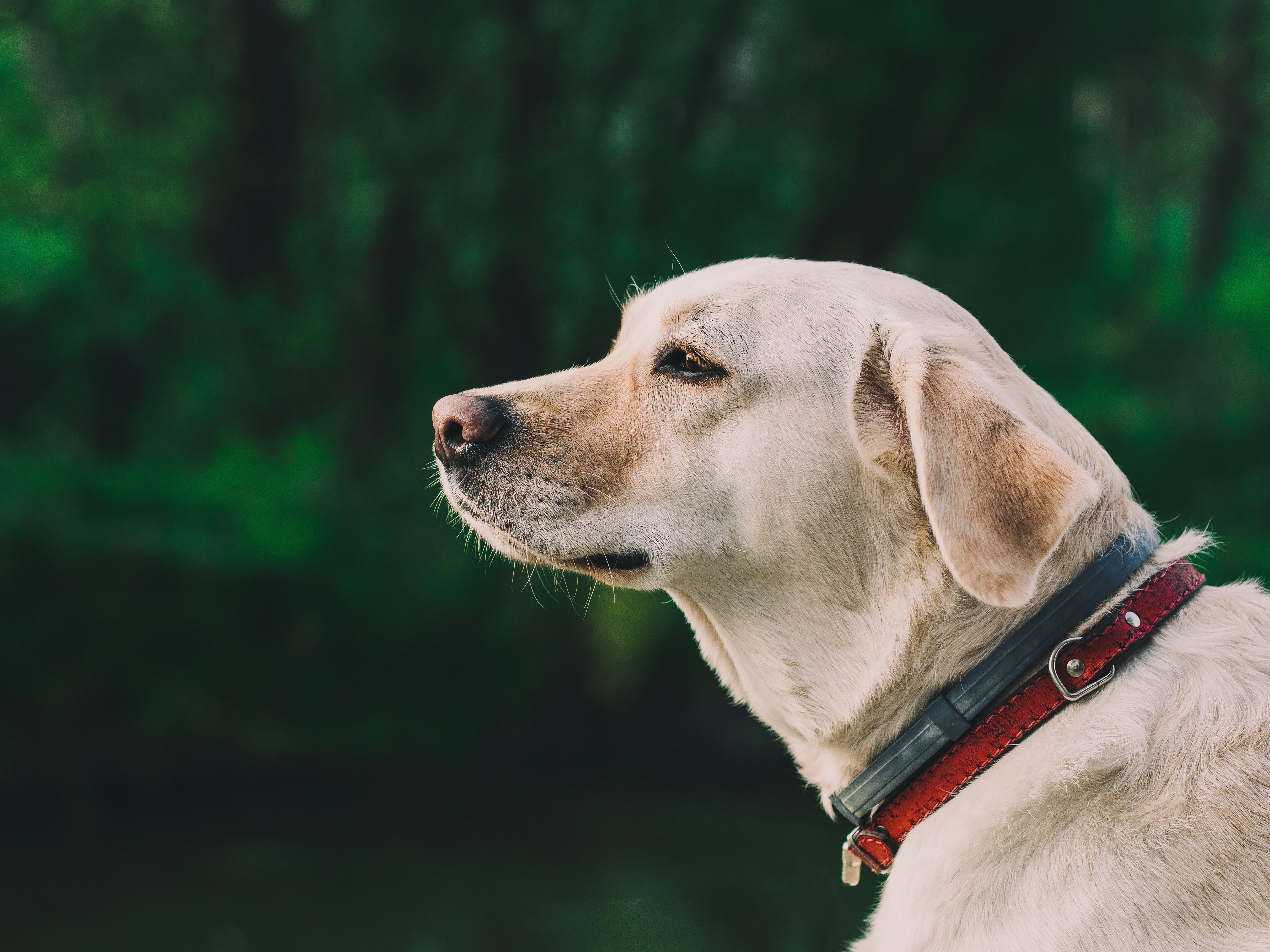 animal, collar, dog