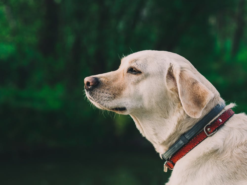 Selective-focus Photography of Yellow Labrador Retriever With Black and Red Dog Collar