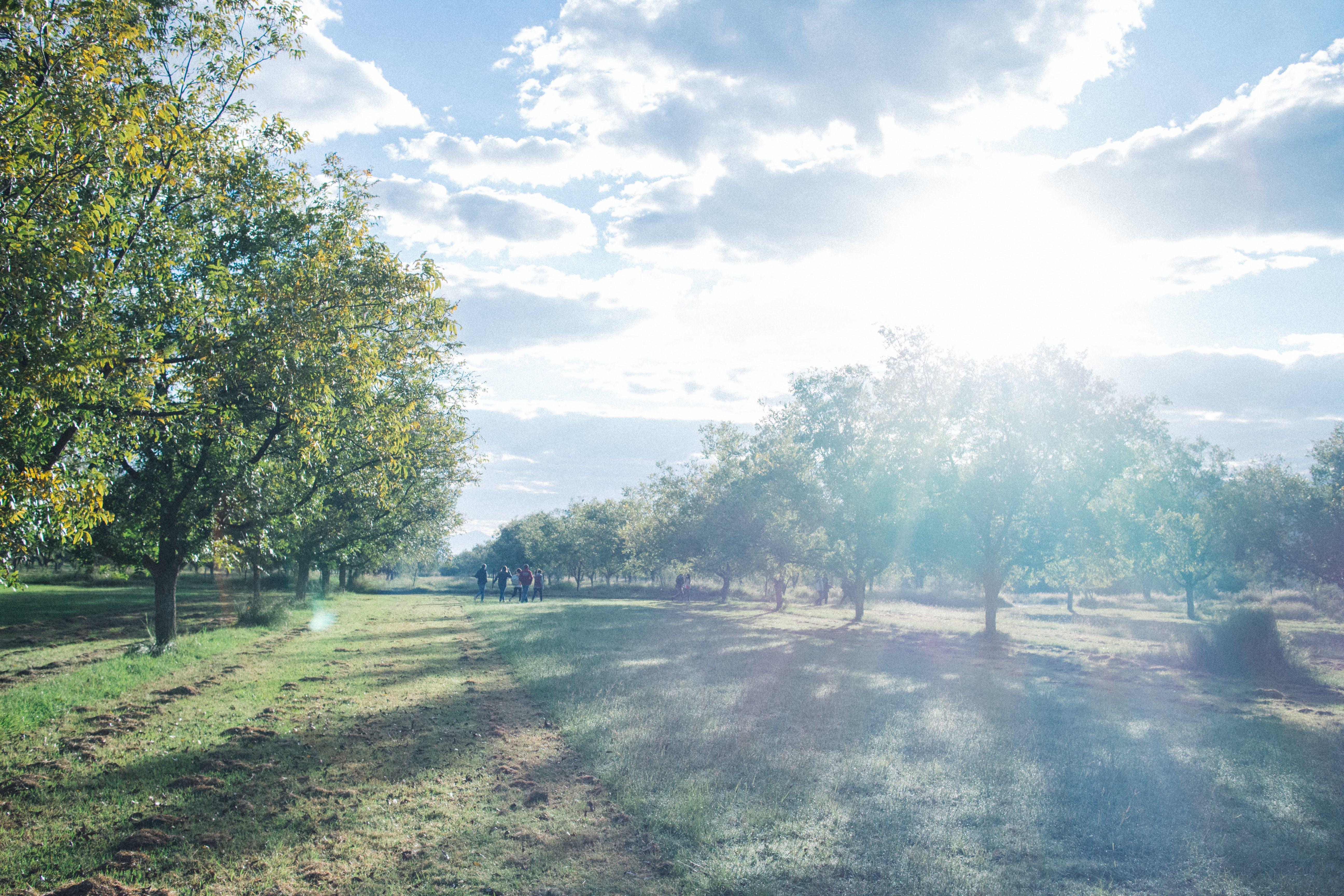 Free stock photo of fruit tree, membrillo, orchard, sun