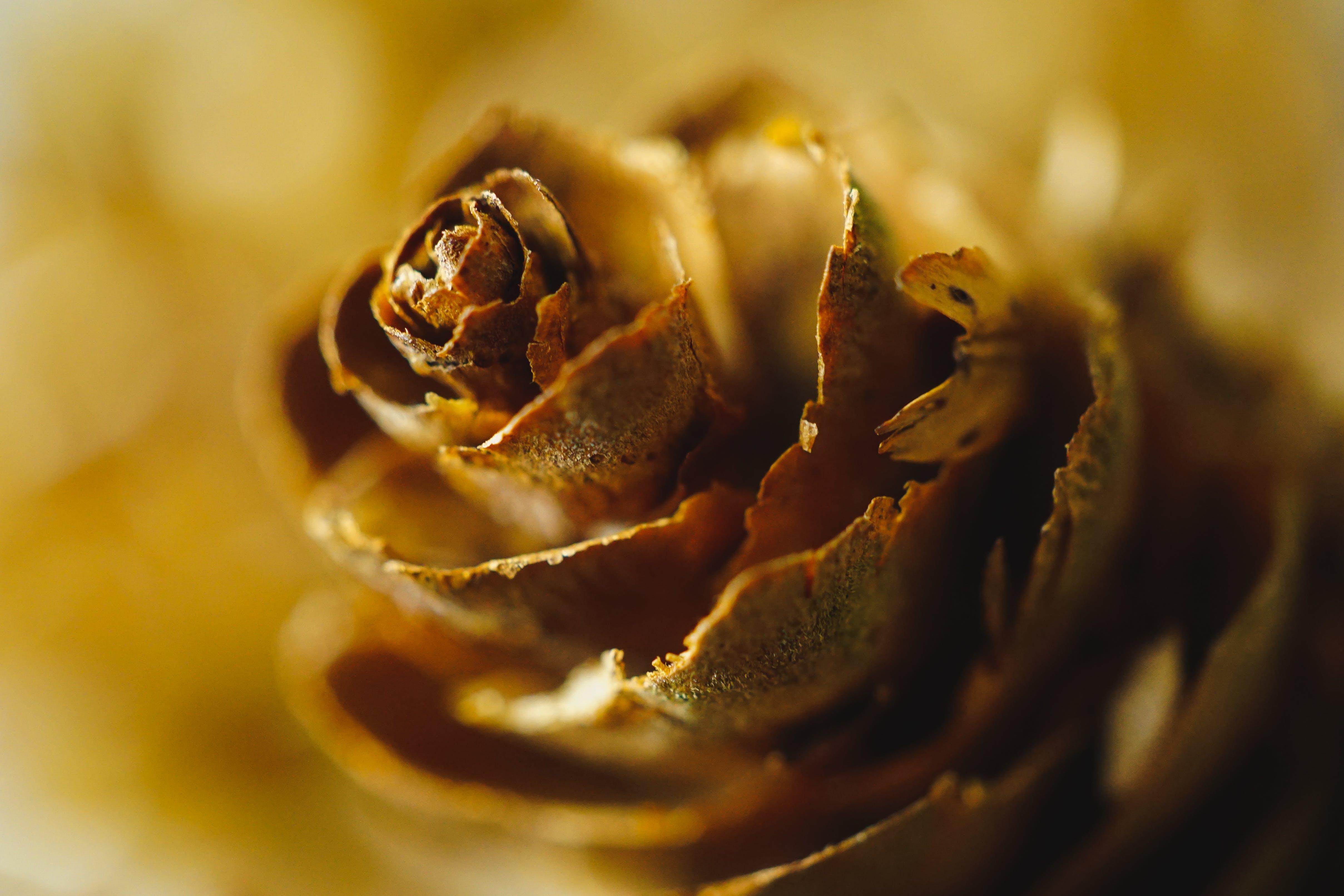 Immagine gratuita di colori, fiore, macrofotografia, marrone