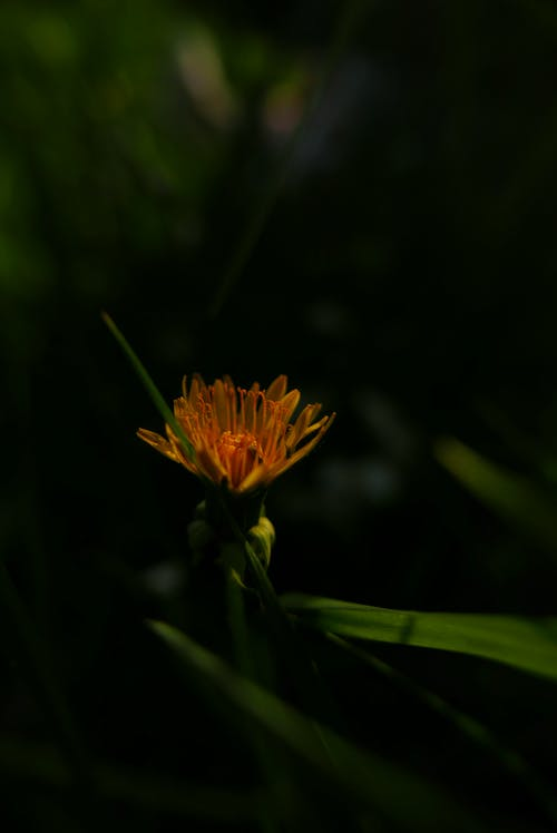 Бесплатное стоковое фото с желтый цветок, листья, одуванчик