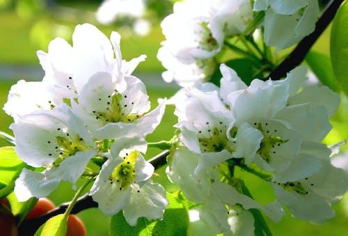 Imagine de stoc gratuită din alb, arbore, copac, floră