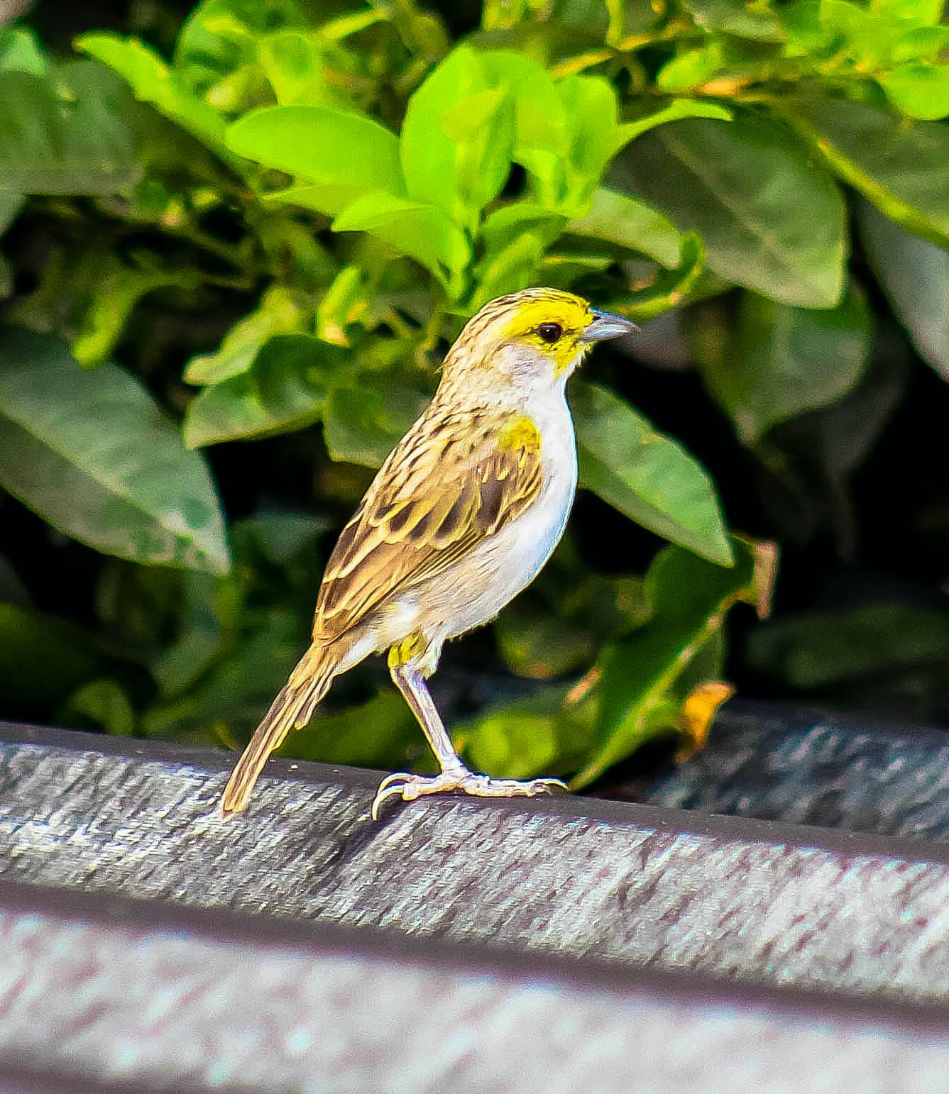 Brown and White Sparrow Bird