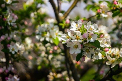 Free stock photo of botanic garden, botany, cherry
