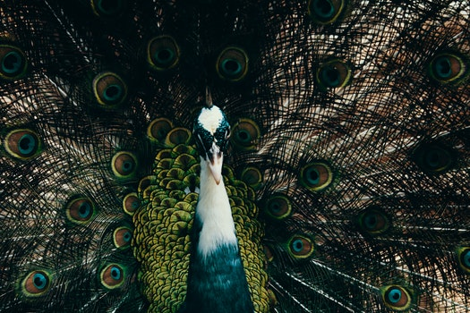 Male Peacock Photography