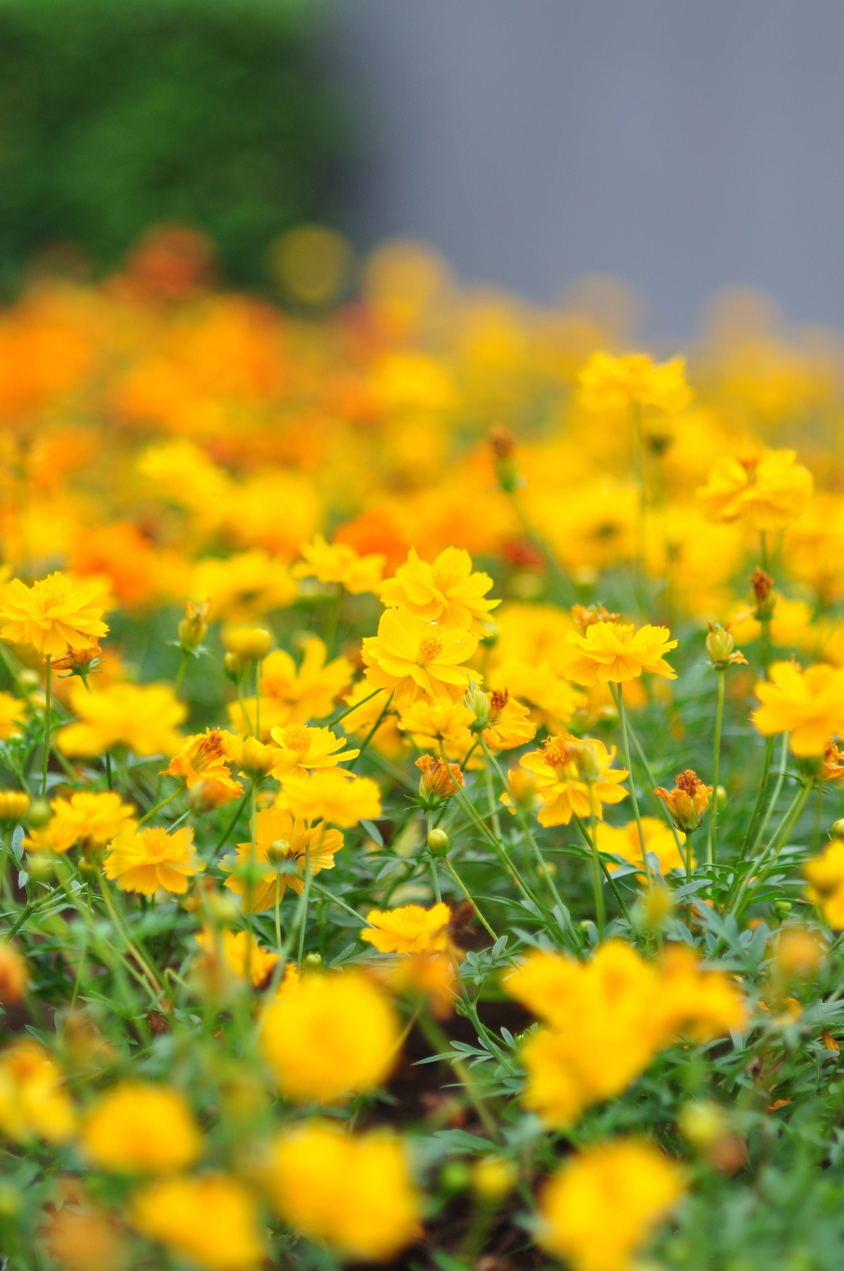 Free stock photo of flower bed, yellow flowers
