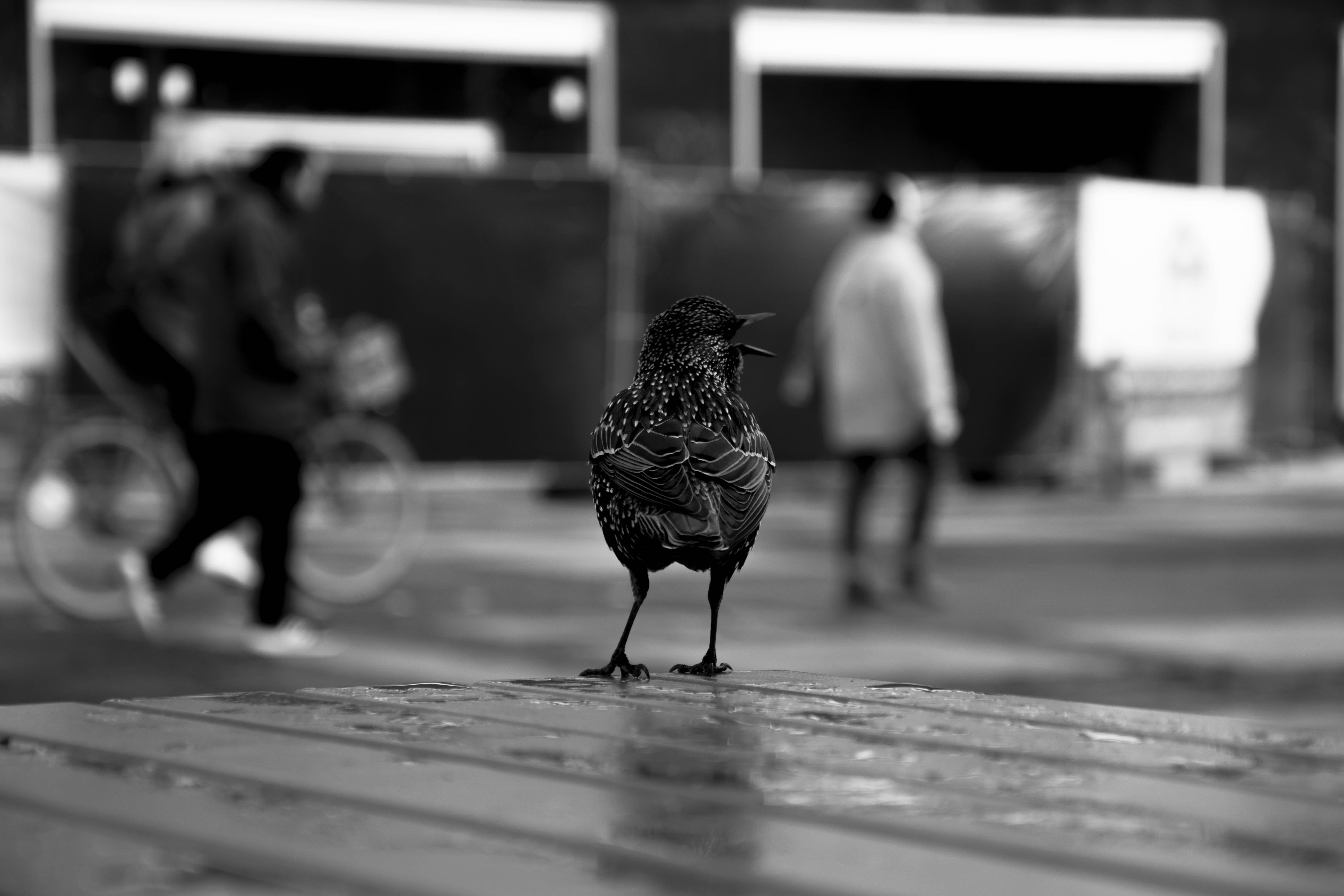 Grayscale Photography of Chicken on Surface