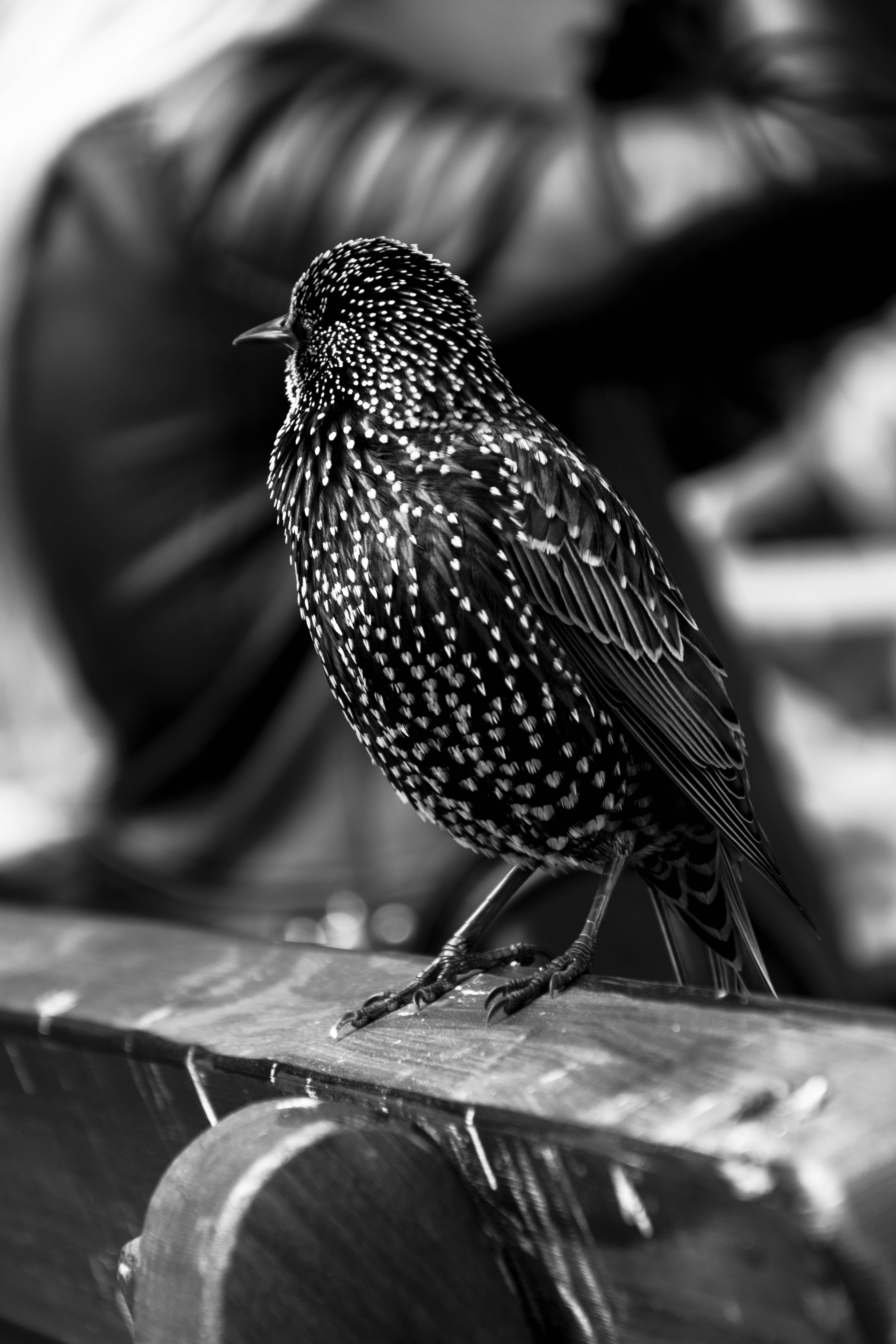 Grayscale Photo of Short Beaked Bird on Wooden Chair