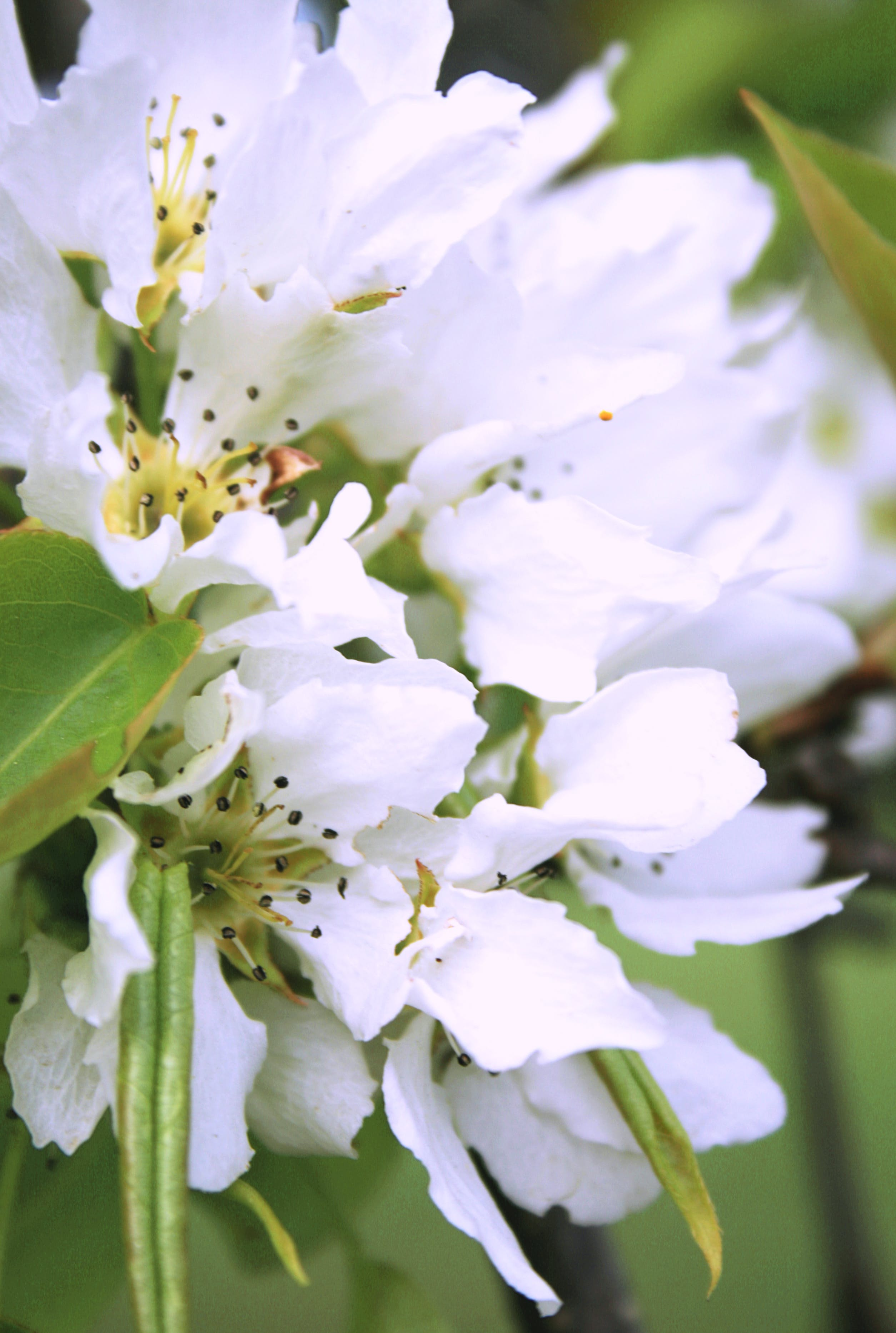 of apple-tree, beautiful, bloom, blooming