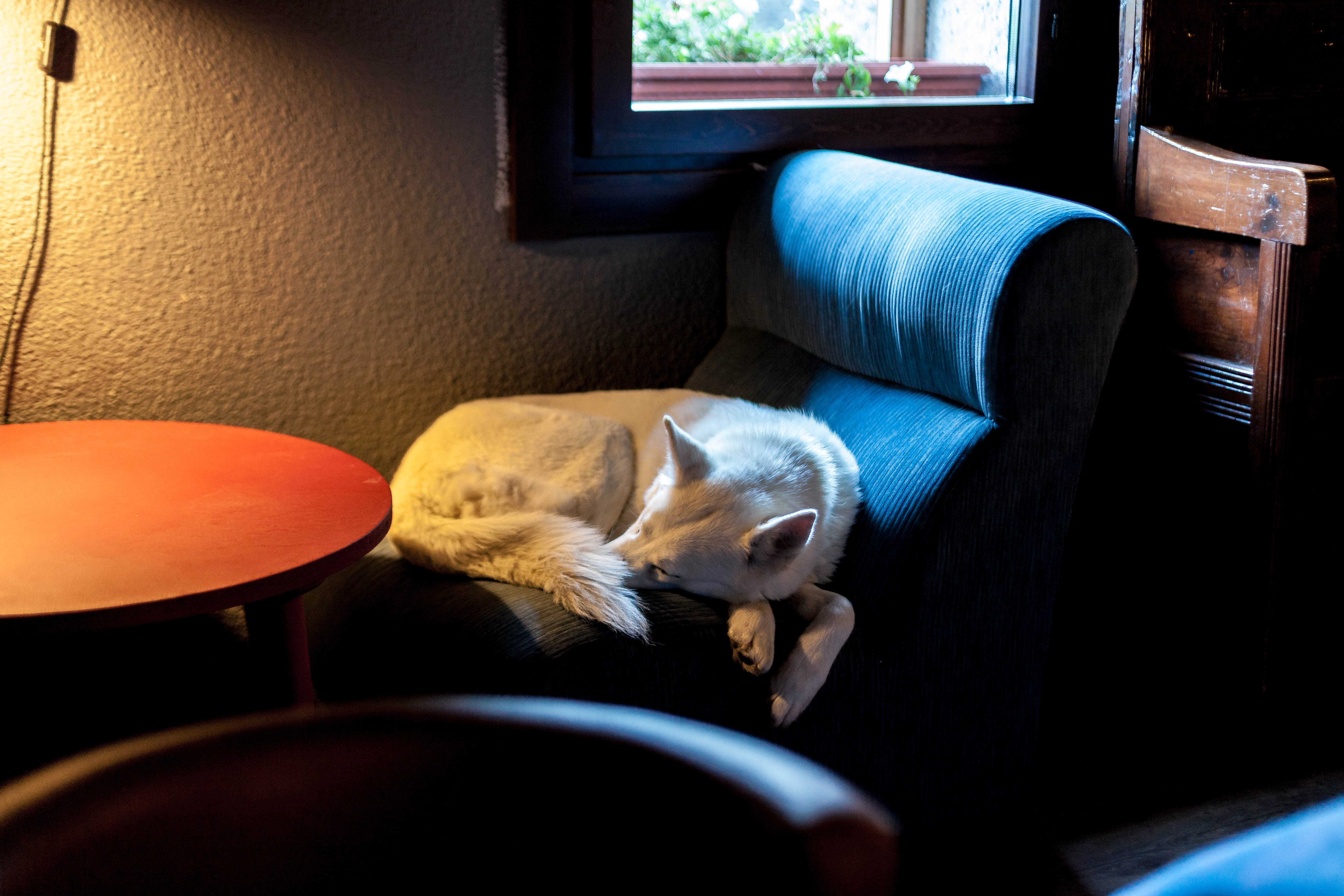 Free stock photo of animal, armchair, ball, Blanc