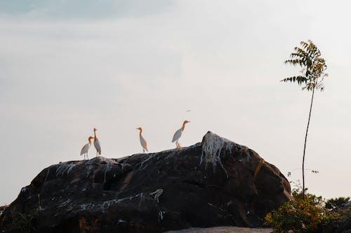 Ardea alba birds standing in rocky boulder on seacoast