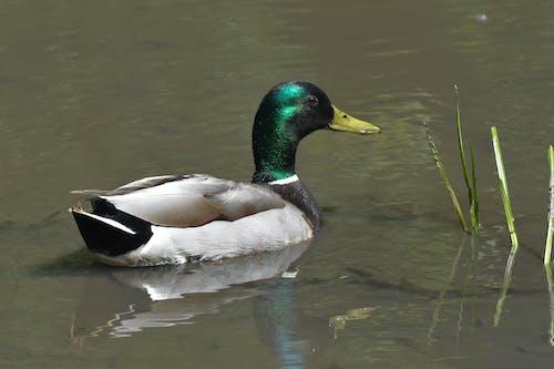 Free stock photo of bird, duck, male mallard