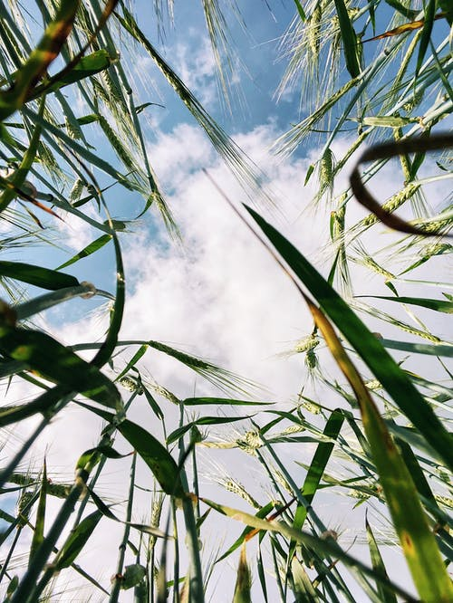 Free stock photo of agriculture, cereal, color