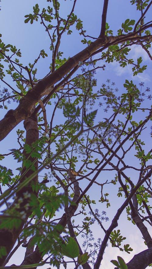 Free stock photo of aegopodium, blue, branches