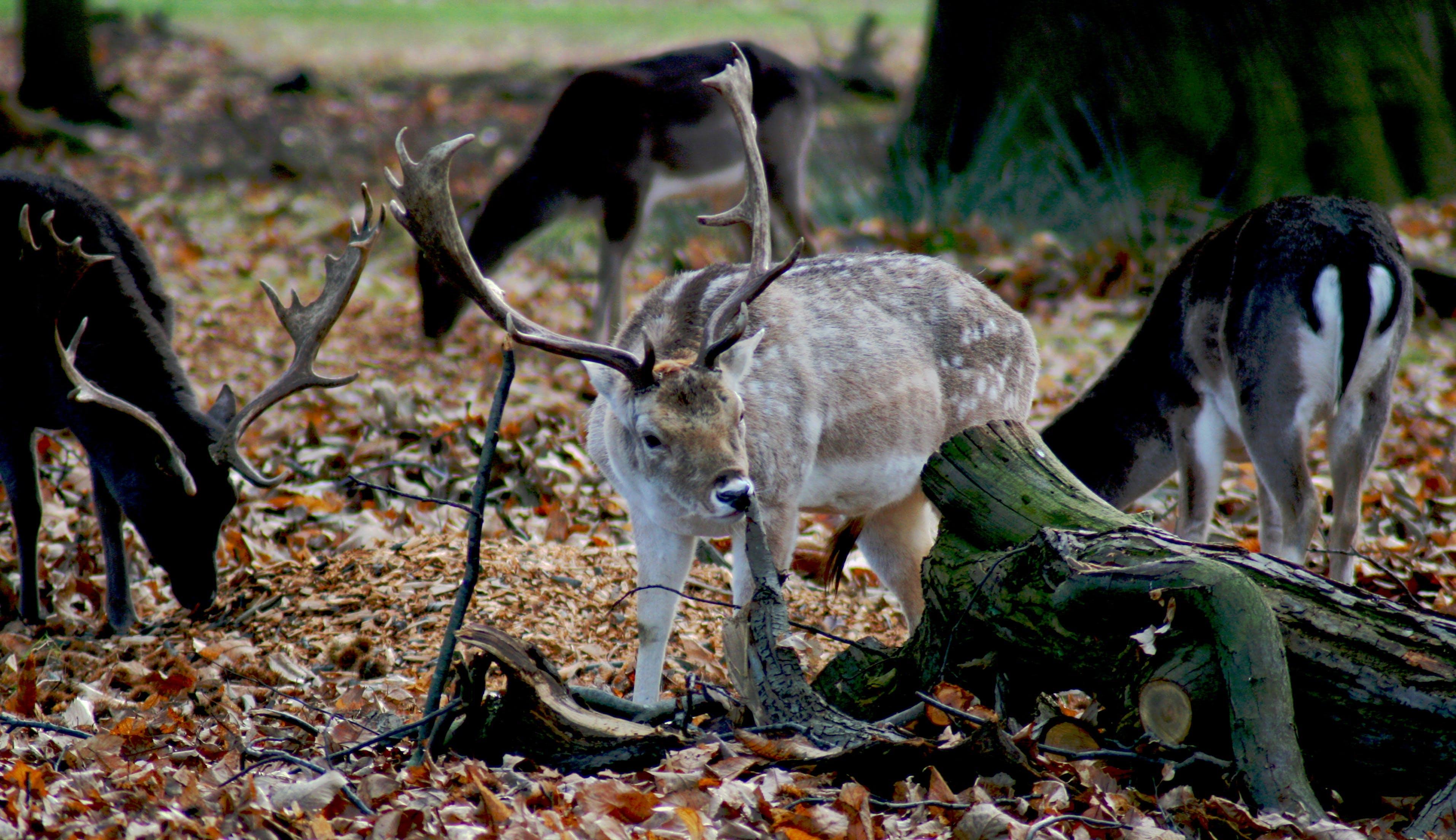 Free stock photo of deer, fallow, fallow deer, park