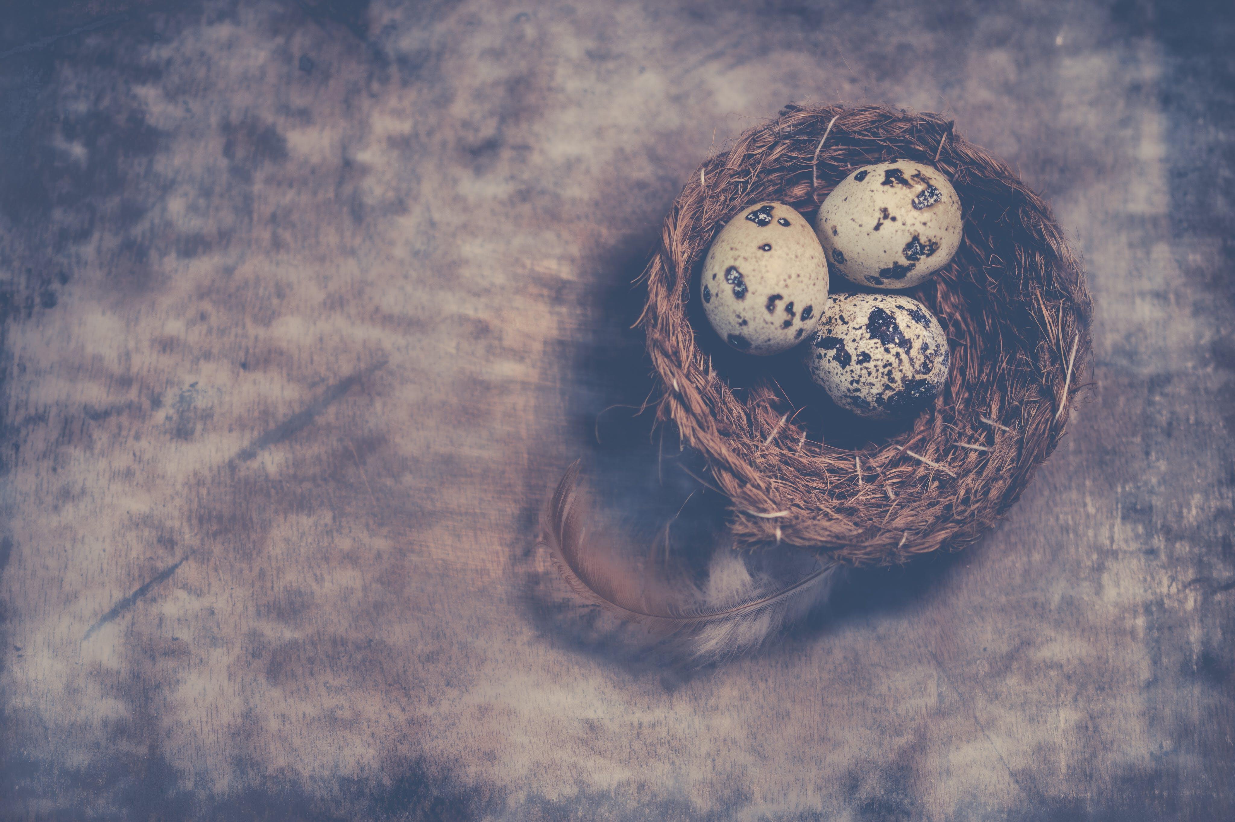 Základová fotografie zdarma na téma hnízdo, křepelčí vejce, lastura, malý