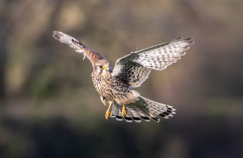 Free stock photo of bird, carnivores, falcon