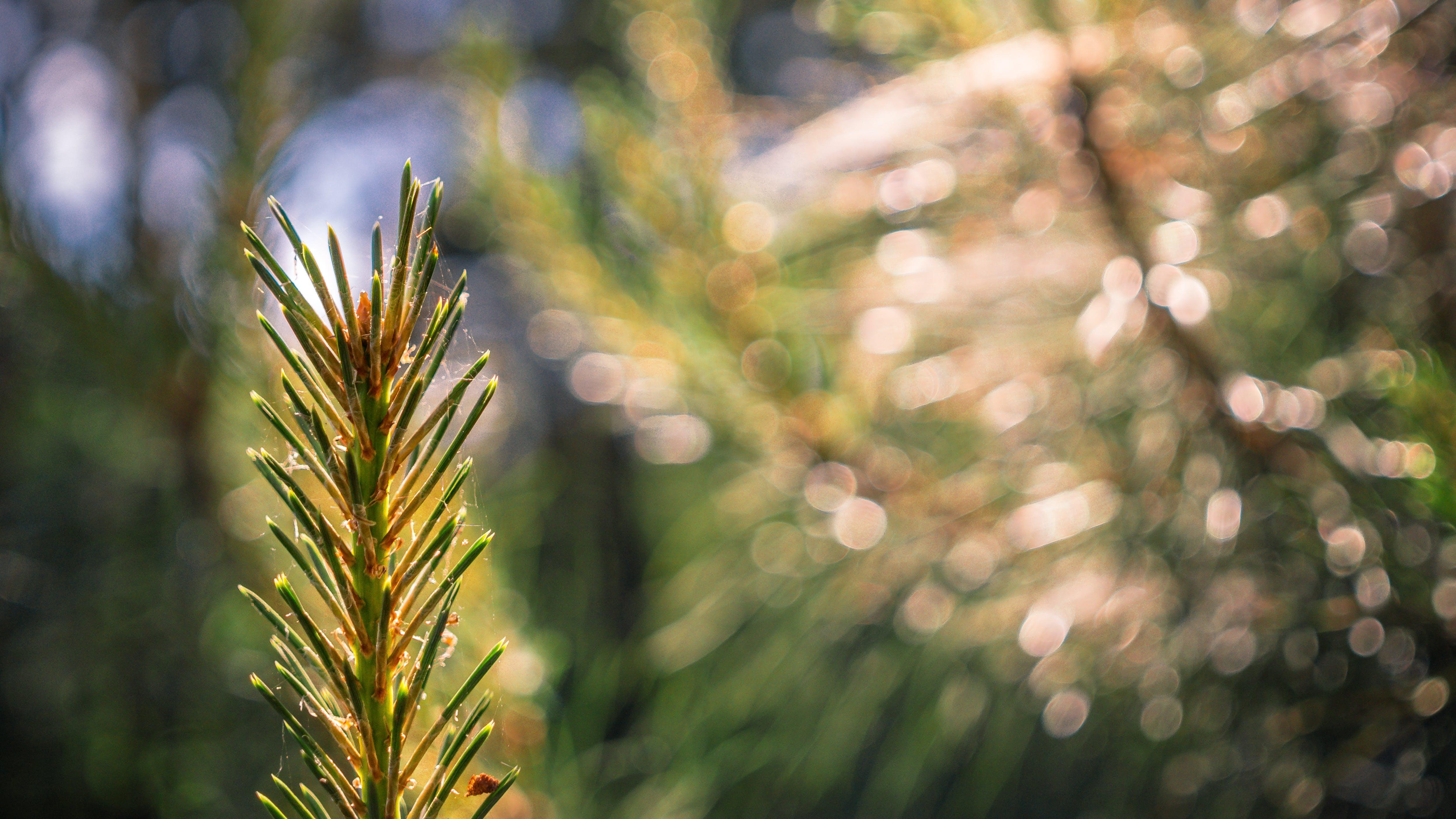 Foto d'estoc gratuïta de bosc, conífera, coníferes, fons de pantalla gratuït