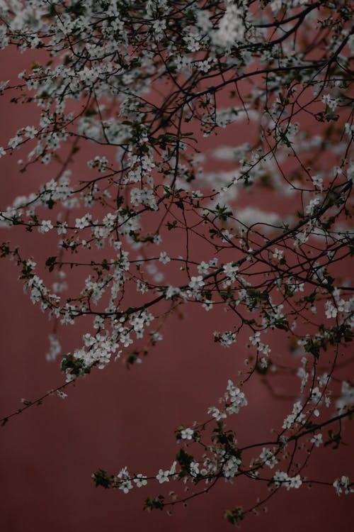 Beautiful White Cherry Blossoms in Bloom