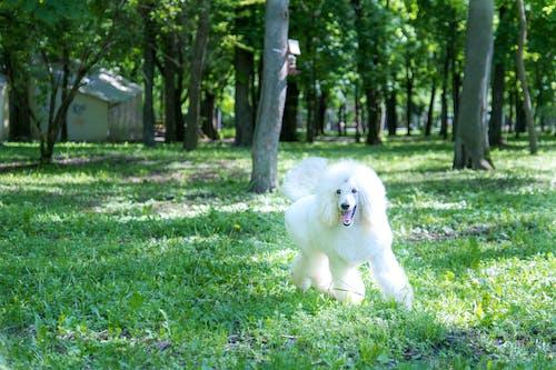 An Adorable Poodle