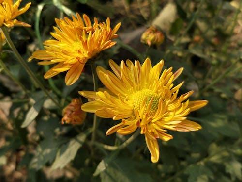 Δωρεάν στοκ φωτογραφιών με Καλεντούλα, όμορφα λουλούδια, φύση