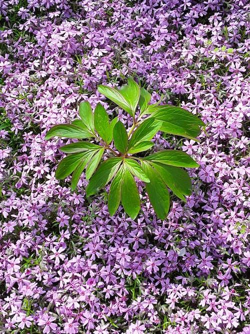 紫罗兰花, 紫色, 綠色 的 免费素材图片