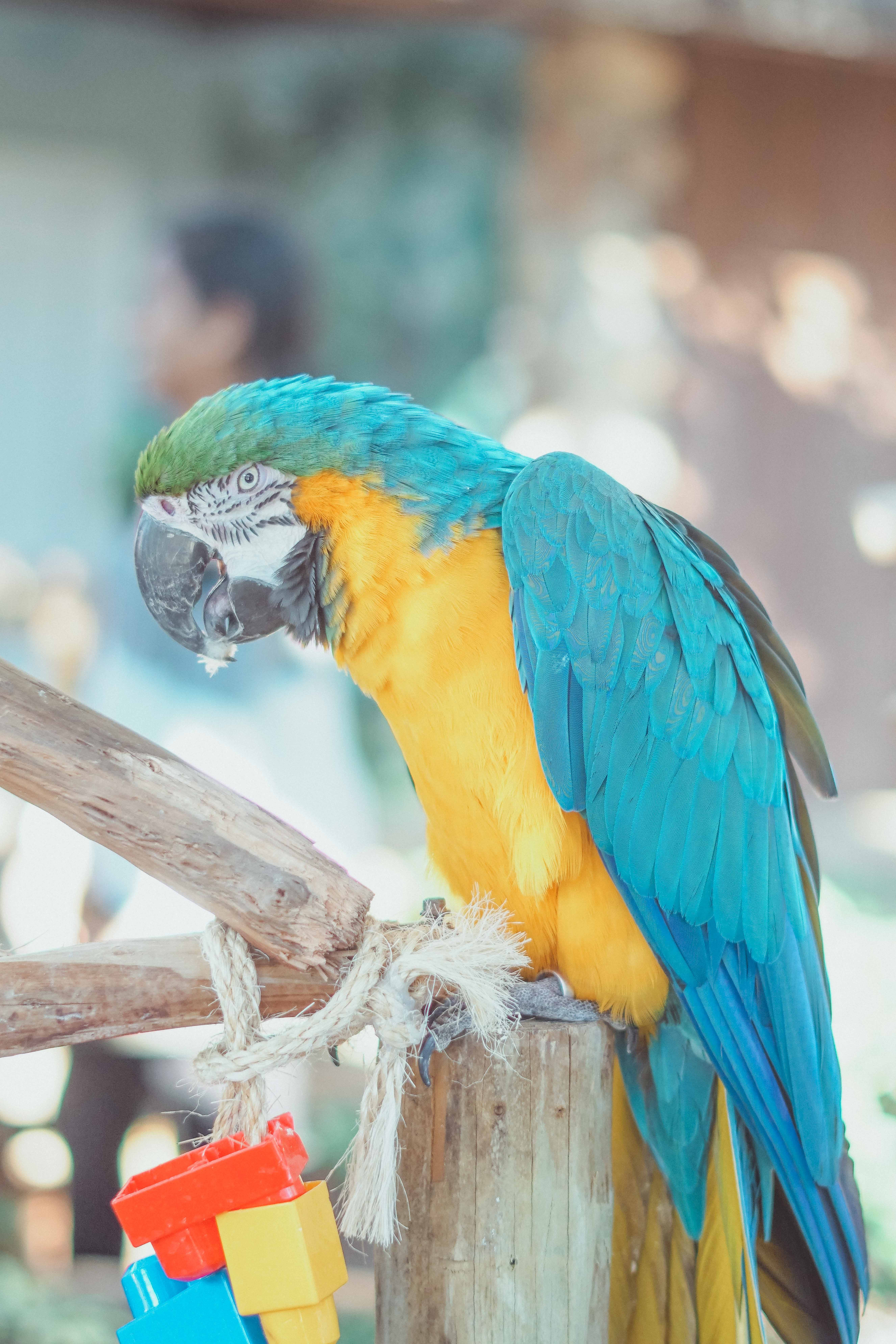 Free stock photo of colorful, parrot