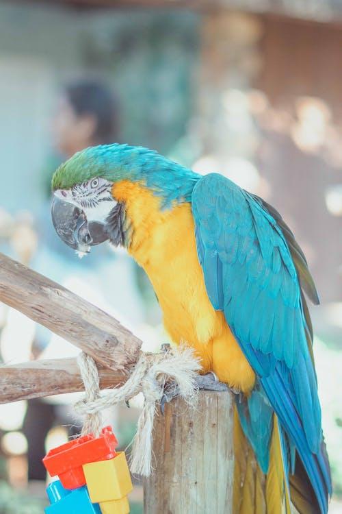 farverig, papegøje