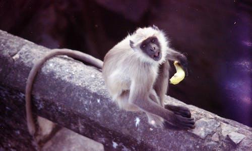 Free stock photo of eating monkey, monkey, sitting monkey