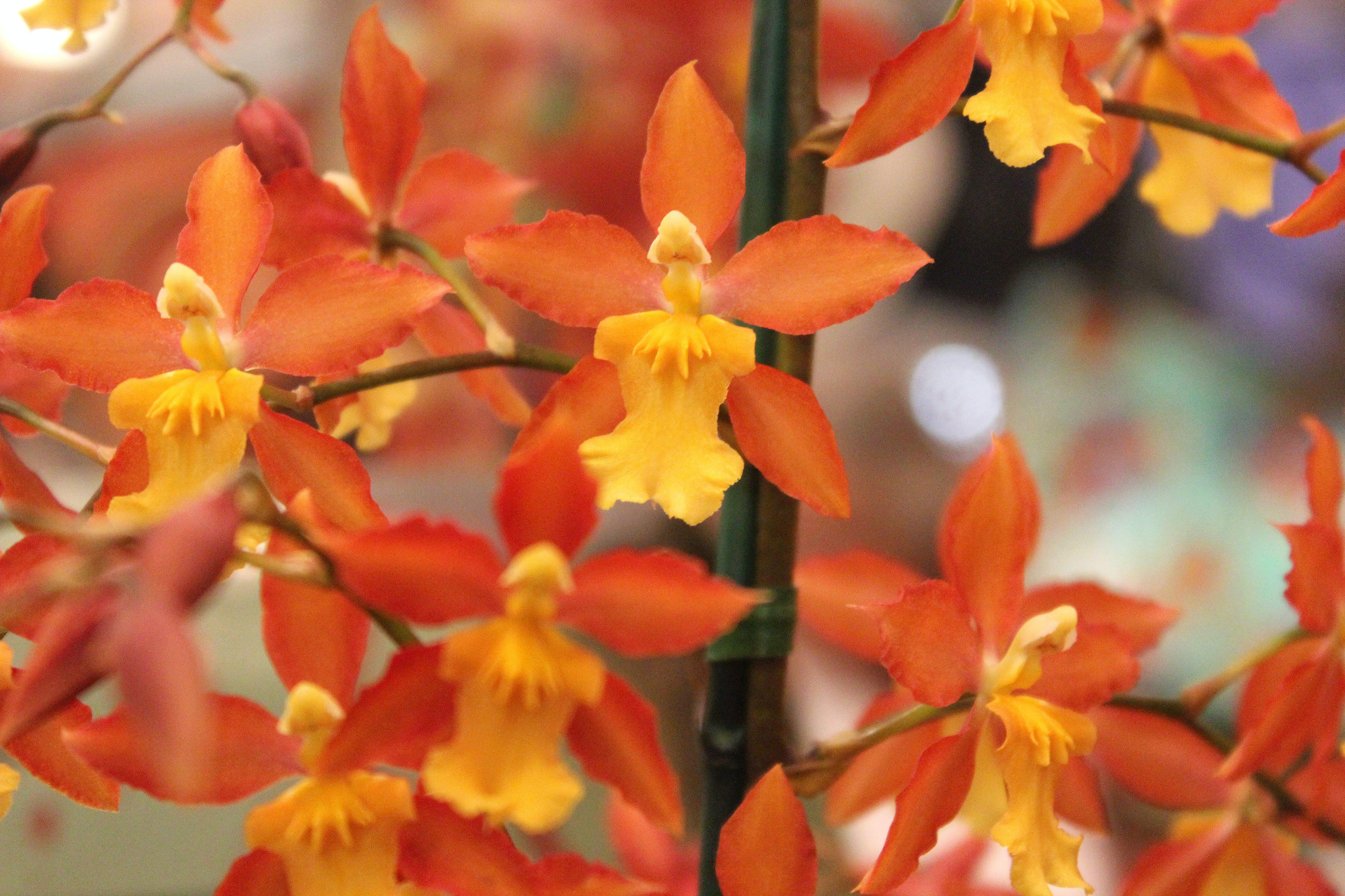 Free stock photo of orange flowers