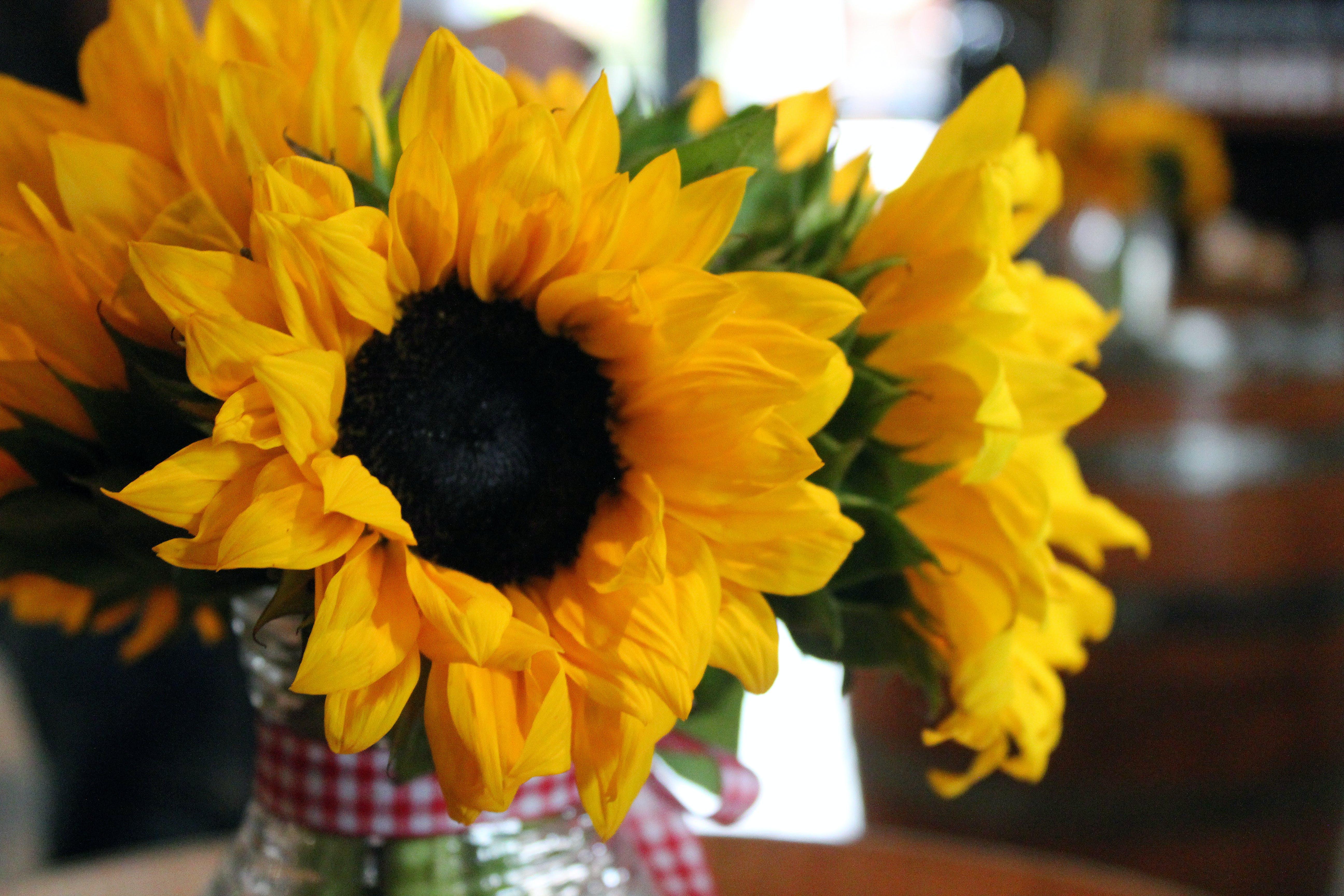 Free stock photo of sunflower, yellow flowers